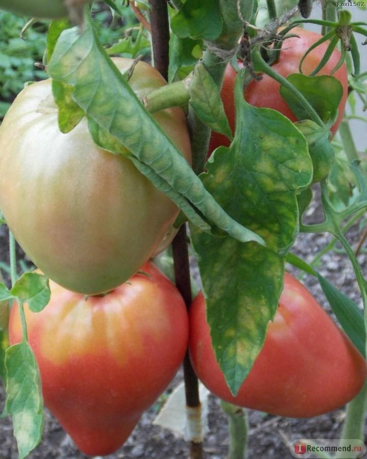 Томат «Батяня» - раннеспелый, урожайный, индетерминантный сорт сибирской селекции