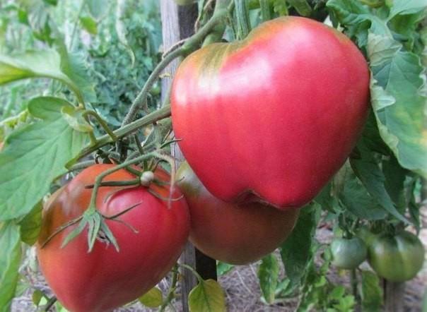 Урожайность томатов «Батяня» высокая, вкус отличный