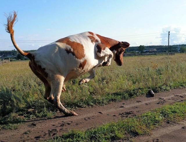 Бешенство у коровы проявляется возбудимостью, агрессией