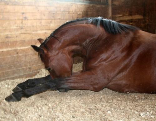Паралитическая форма бешенства у лошадки