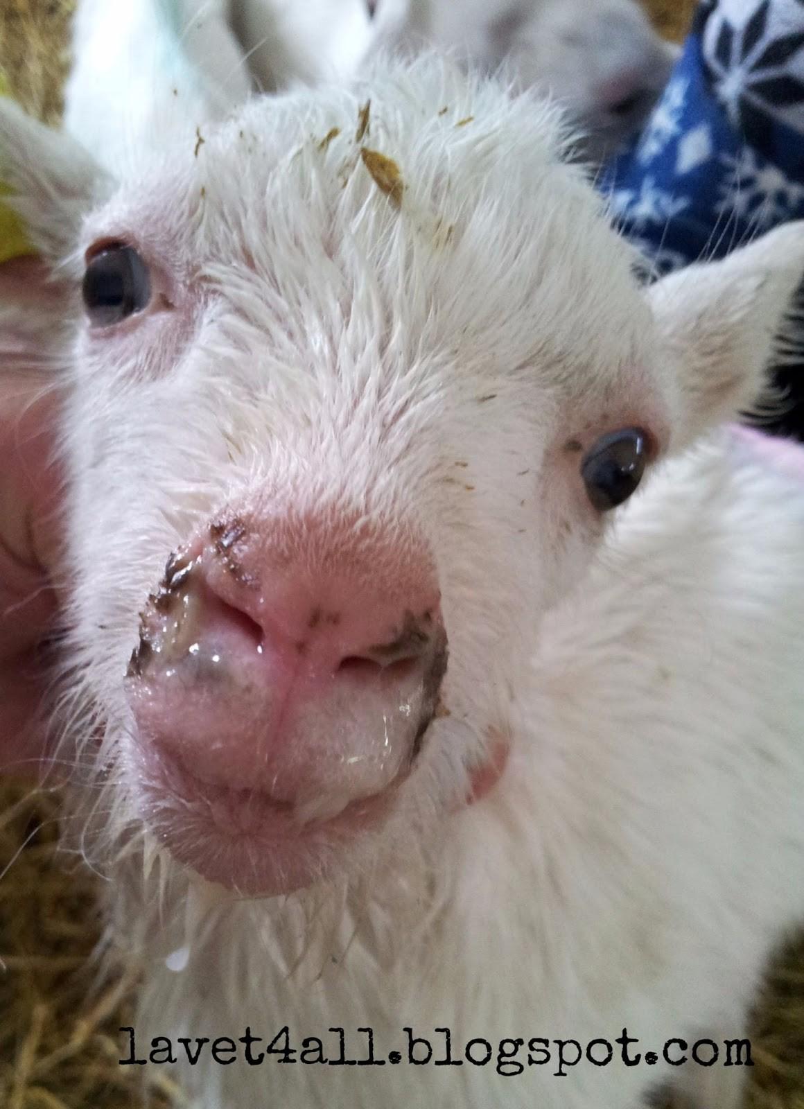 Ринит у козы