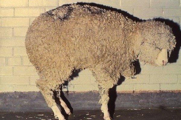 Брадзот у овечки