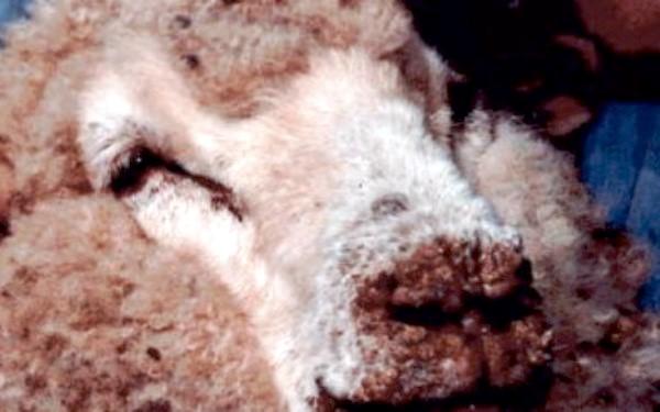 Оспа у овечки