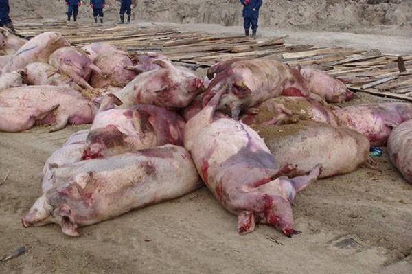 Свиньи, павшие от африканской чумы, подлежат сожжению
