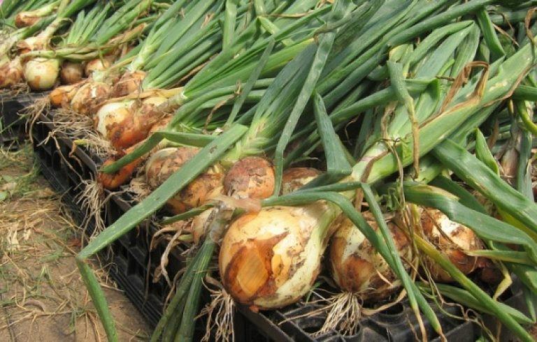 Лук Центурион — сорт, ценимый за свою урожайность и неприхотливость.