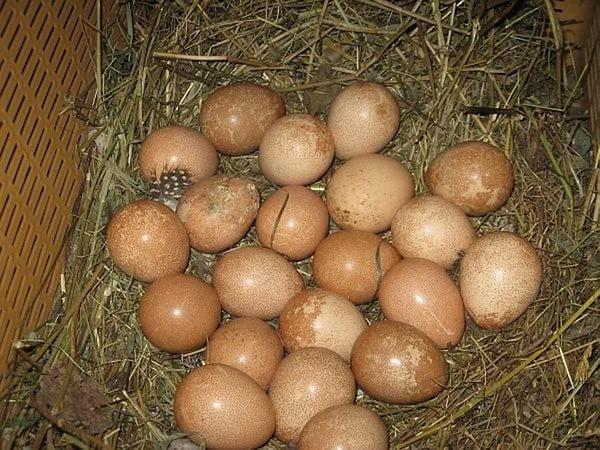 По размеру яйца цесарок чуть меньше куриных