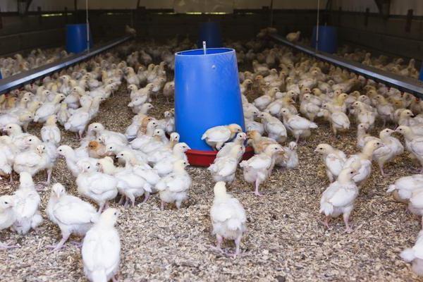 Чиктоник позволяет вырастить крепкое, здоровое куриное поголовье
