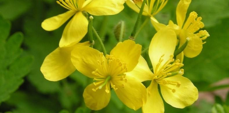 Чистотел — ядовитое растение для пернатых