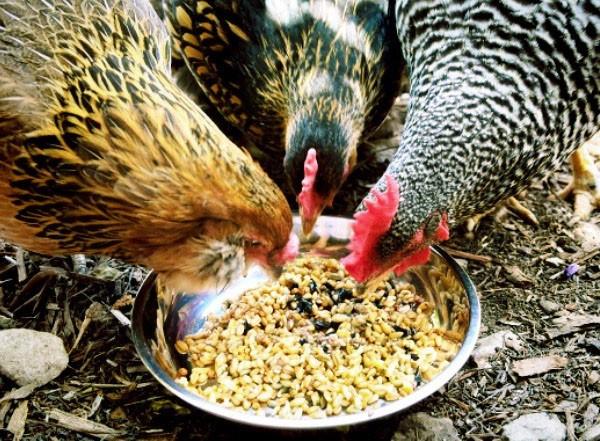 Рацион курочек должен быть сбалансированным, питательным. В зерновые смеси добавляйте свежую зелень