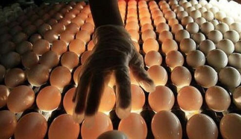 Неправильная инкубация может стать причиной рождения слабых цыплят