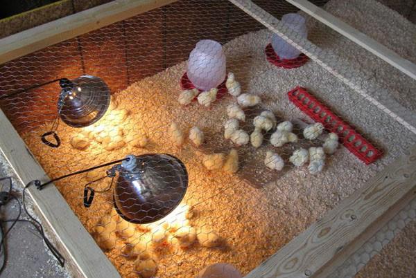 Цыплята должны содержаться в благоприятных условиях. Следите за влажностью, температурой в брудерах.
