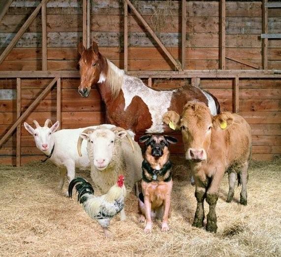 Дитрим применяют для собак, КРС, мелкого рогата скота, домашней птицы