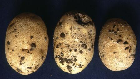 Ризоктониоз на клубнях картофеля