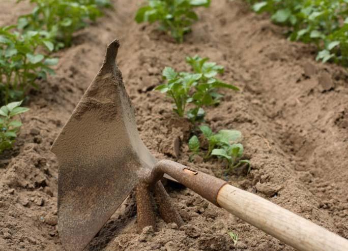 Рыхление и окучивание картофеля