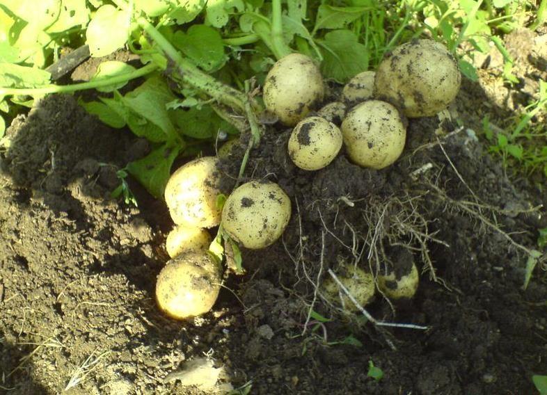 Урожай с одного куста картофеля Гала