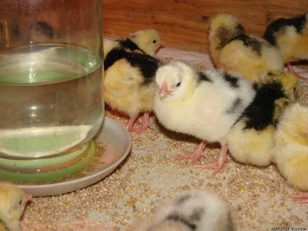Гемобаланс выпаивают птице. Разводят с питьевой водой
