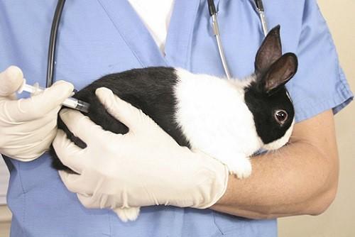 Перед вакцинацией необходимо проглистогонить кролика