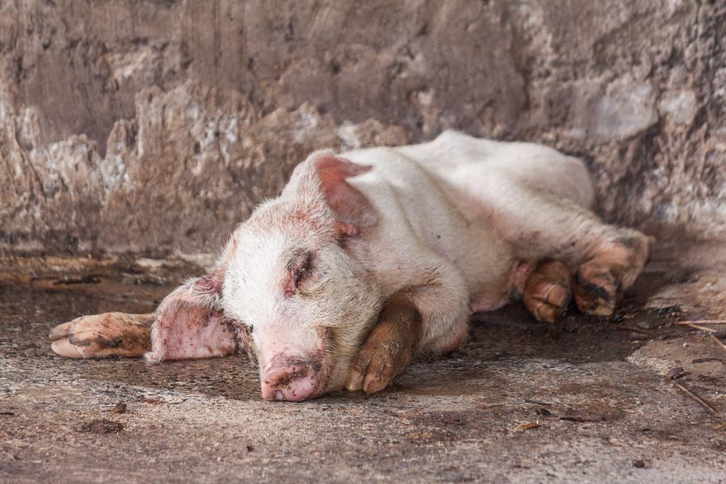 От глистов свиньям