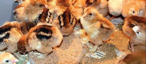 Цыплятам нужно создать оптимальные условия содержания