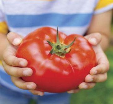 Крупные плоды сорта «хлебосольный»