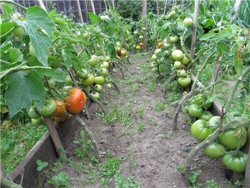 Выращивание сорта «хлебосольный» в открытом грунте
