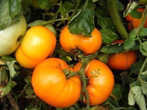Округлые ровные плоды цвета янтарного меда содержат минимум кислот