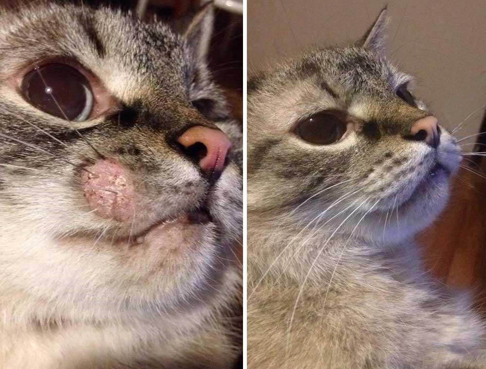 Кот до лечения Имаверолом и после