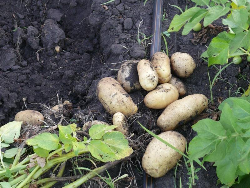 Сорт «Импала» — картофель, который при подходящих условиях может быть выращен дважды за сезон