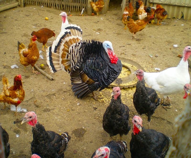 подходящие Последние цыплята индюшата купить в кемерово продолжался