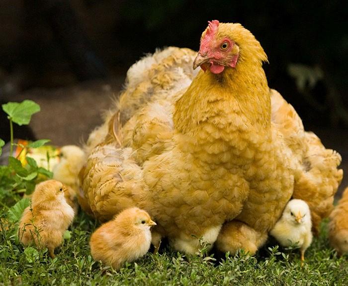 Наседки во время насиживания и выхаживания птенцов не несутся