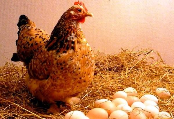Яйцекладка в потаенном месте