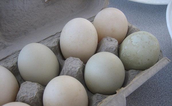 Хранение утиных яиц