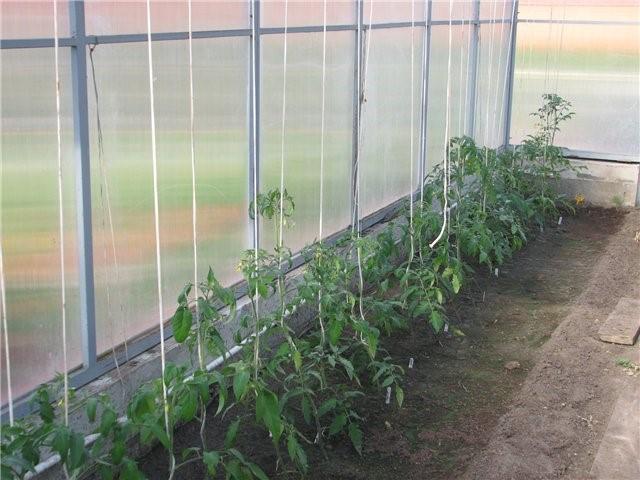Кусты томата Каспар лучше растут в теплице