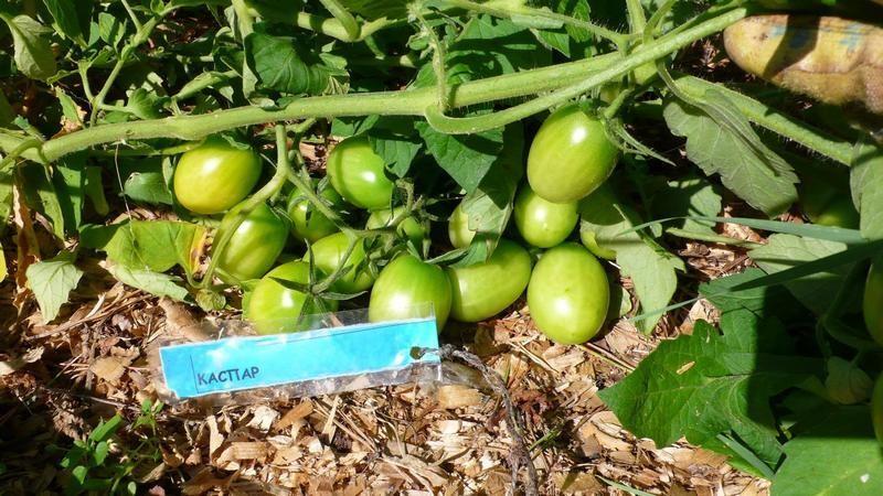Очень неплохая урожайность томата Каспар