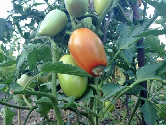 Вершинная гниль на томатах Каспар