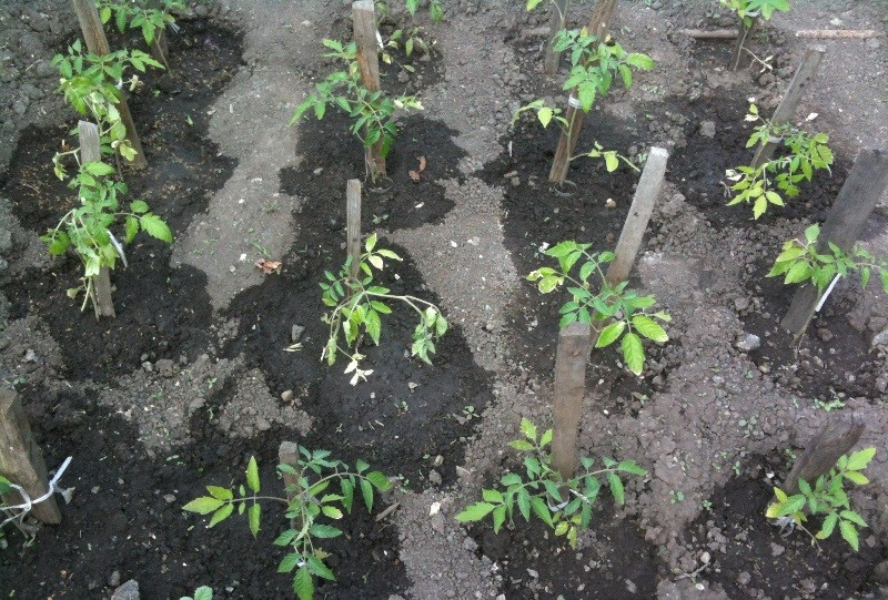Более разреженная высадка томатов Каспер в открытый грунт