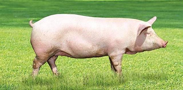 Катозал для свиней способствует более быстрому набору массы, предотвращает каннибализм среди молодняка