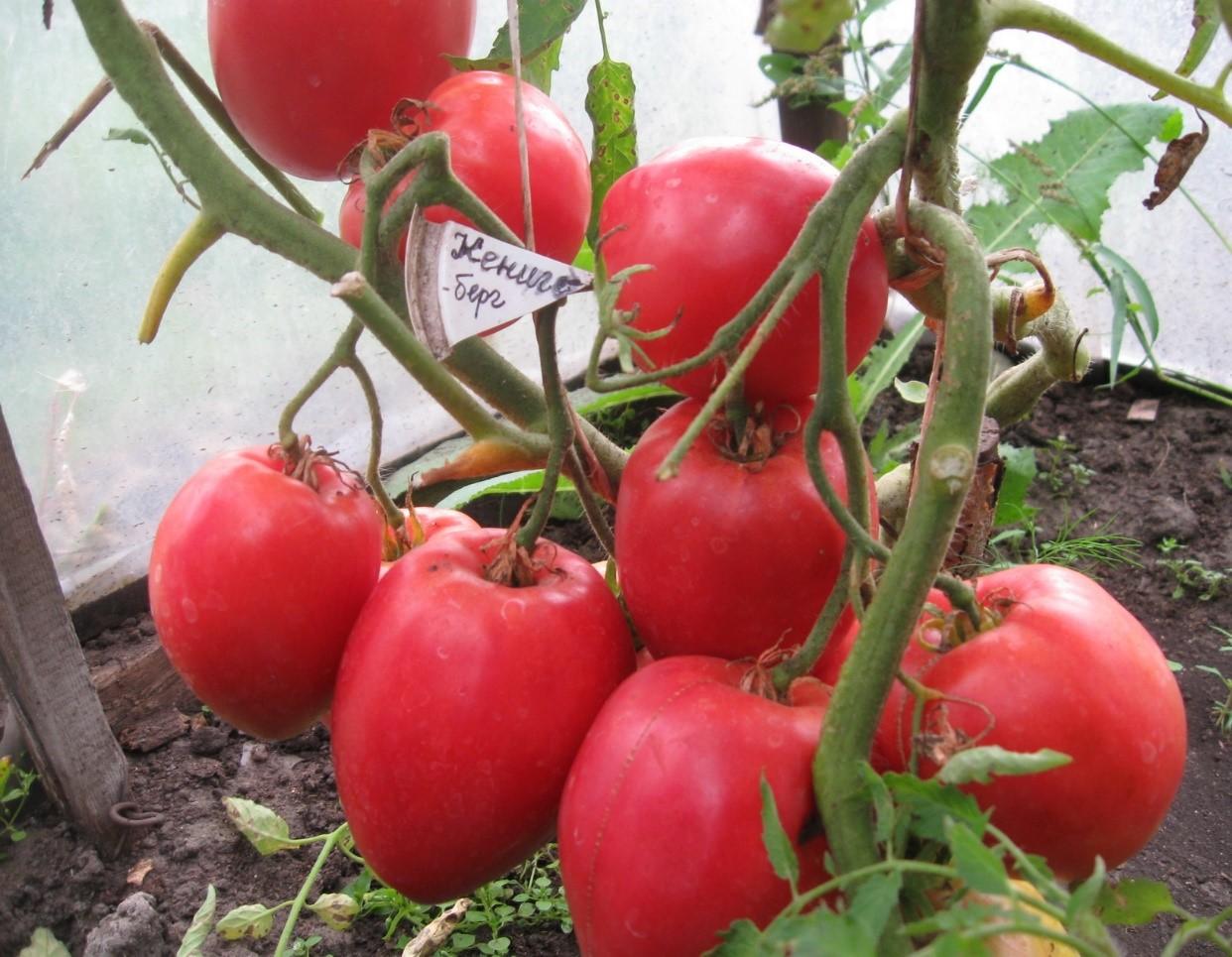 Кенигсберг сердцевидный - высокорослый, плоды весом до 1 кг, сердцевидной формы