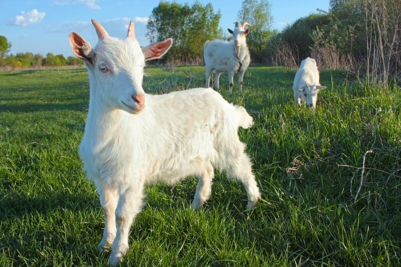 Семья коз пасется на лугу