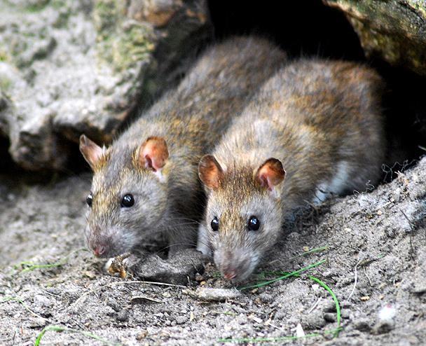 Обыкновенная крыса