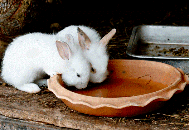 Крольчата пьют теплую водичку