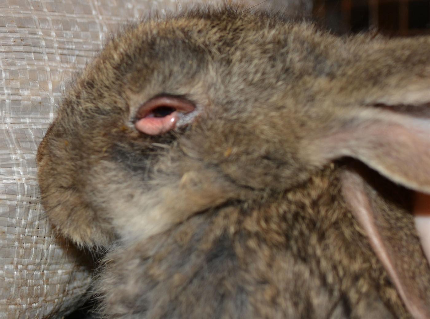 Лечение миксоматоза у кроликов в домашних условиях 850