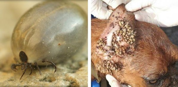 Запущенная форма бабезиоза у собаки