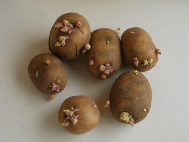 Дружное появление ростков у картофеля