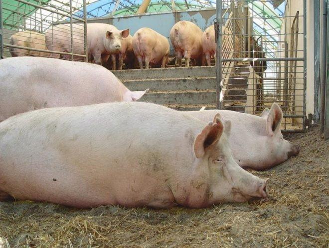 Свиньи лежат