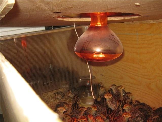 Обогрев брудера инфракрасной лампой
