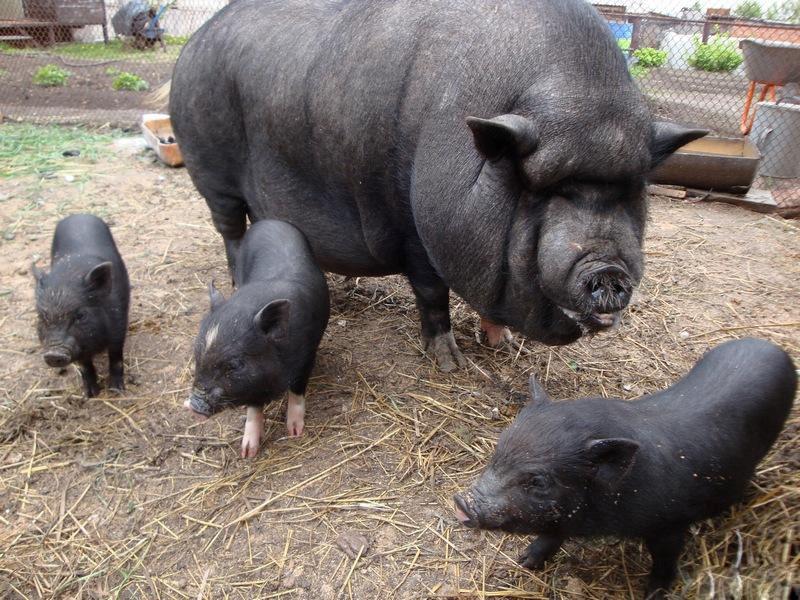 У свиньи вьетнамской породы мало железа в молоке