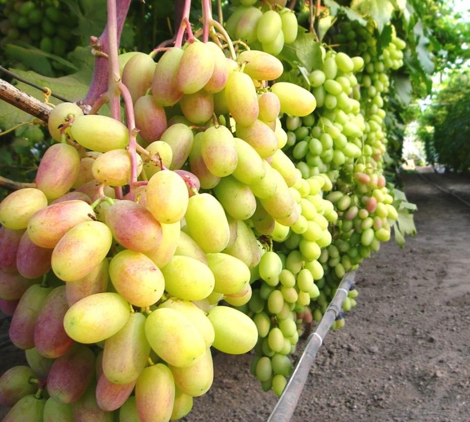 Спелые гроздья сорта «преображение»