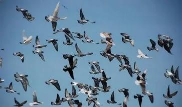 Летние голуби
