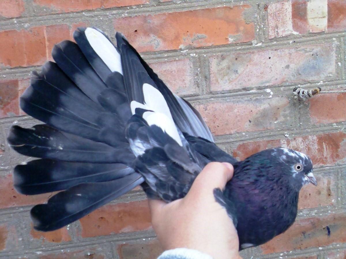 Белохвостые Николаевские голуби